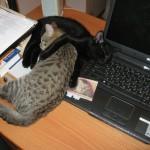 Картина кошки у компа